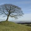 Lone Tree above Butterton, Staffordshire