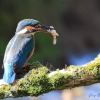 Kingfisher female, river Hyndburn