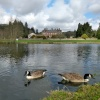 Geese At Lynford