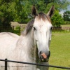 Grey Horse at Kingsmead Stables, Didmarton, Gloucestershire 2014