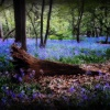 Bluebells in Cozenden Woods