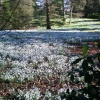 Snowdrops at Kingston Lacy, Wimborne Minster, Dorset
