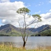 Lone Tree in Buttermere against the Background of Fleetwith Pike and Haystacks