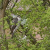 Sparrowhawk,Back Garden, Denton, Greater Manchester