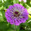 Purple Dahlia at the Chelsea Physic Garden, London