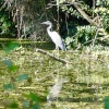 A Heron on the Chichester Canal, West Sussex