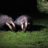 Beautiful Badgers, Suffolk