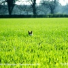 Fox in Cornfield, nr Badminton, Gloucestershire 1985