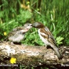 Male House Sparrow feeding young in garden, Acton Turville, Gloucestershire