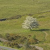 Lone Tree in Blossom at The Roaches, Upper Hulme, Staffordshire Moorlands