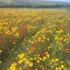 Poppies and Corn Marigolds, Polly Joke, West Pentire, Newquay, Cornwall