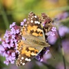 Painted Lady Butterfly at Greys Court
