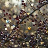 Berries with Melted Frost in Morning Sunlight, near Leek, Staffordshire