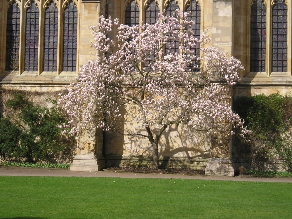 Magnolia Tree Growing Against The Chapel In New College Oxford