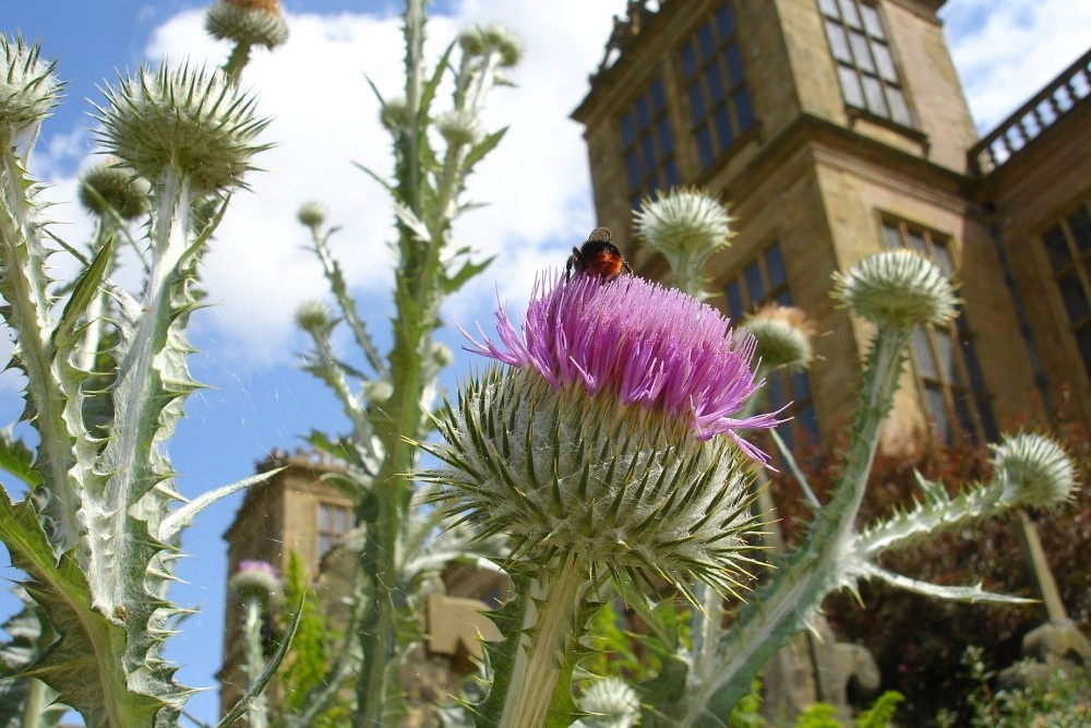 Giant thistle in the garden hardwick hall derbyshire
