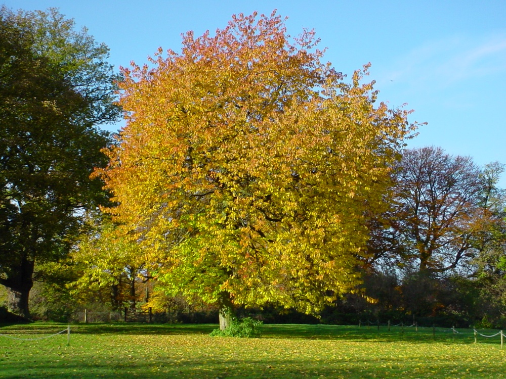A Tree in Autumn at Masham, Yorkshire