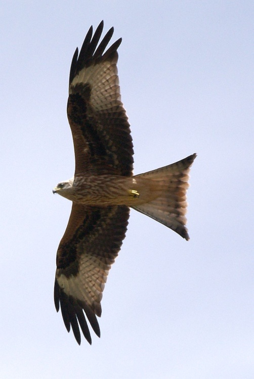 Red Kite, near Ewelme, Oxon.