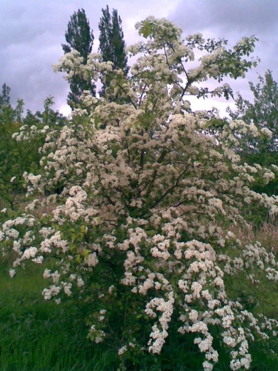 The Hawthorn in flower