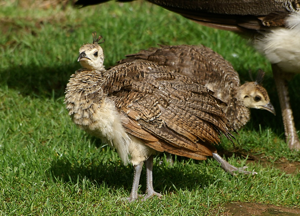 """""""Two young Peacock chicks."""" by Peter Evans at ..."""