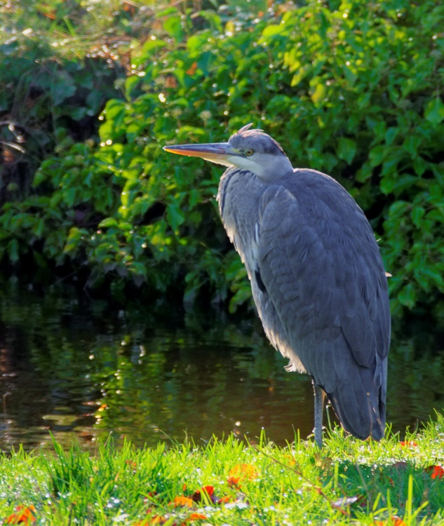 Heron on the River Wye in Buxton