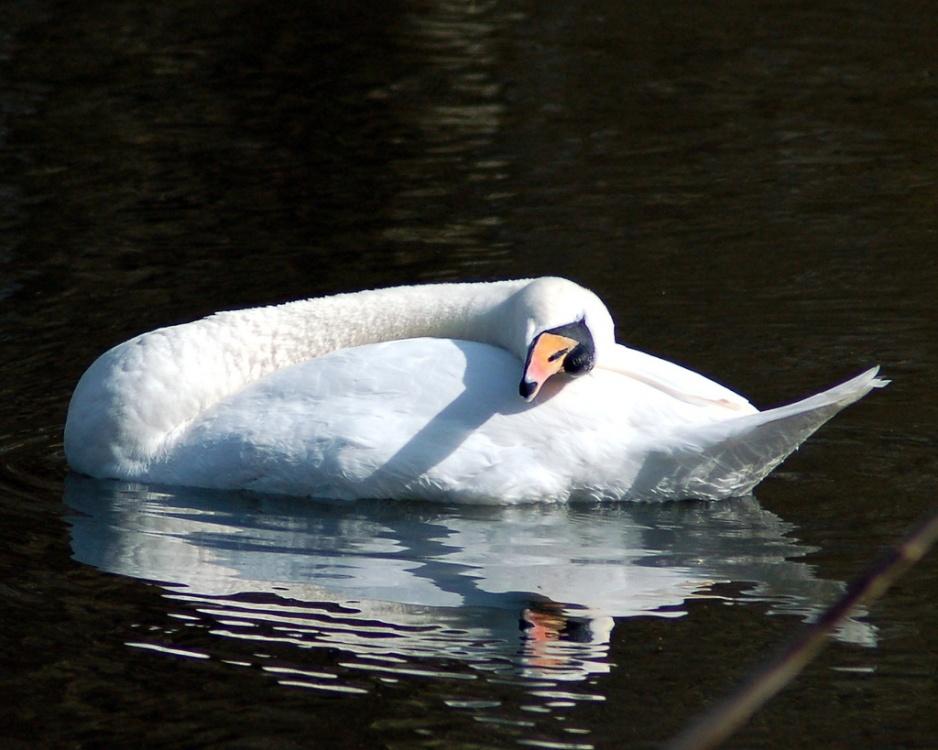 The Sleeping Swans >> Sleeping Swan Wallpaper Background Id 1121819