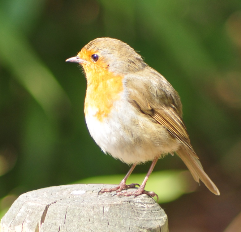 Broadwindsor - Robin